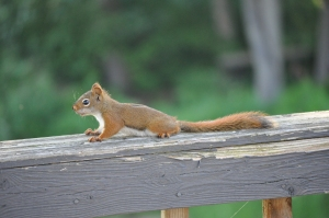 Like the over caffeinated resident managing a triple-booked clinic and a constantly ringing pager, this anxious North American Red Squirrel (Tamiasciurus hudsonicus) was seen efficiently stashing away peanuts laid out by curious cottagers.